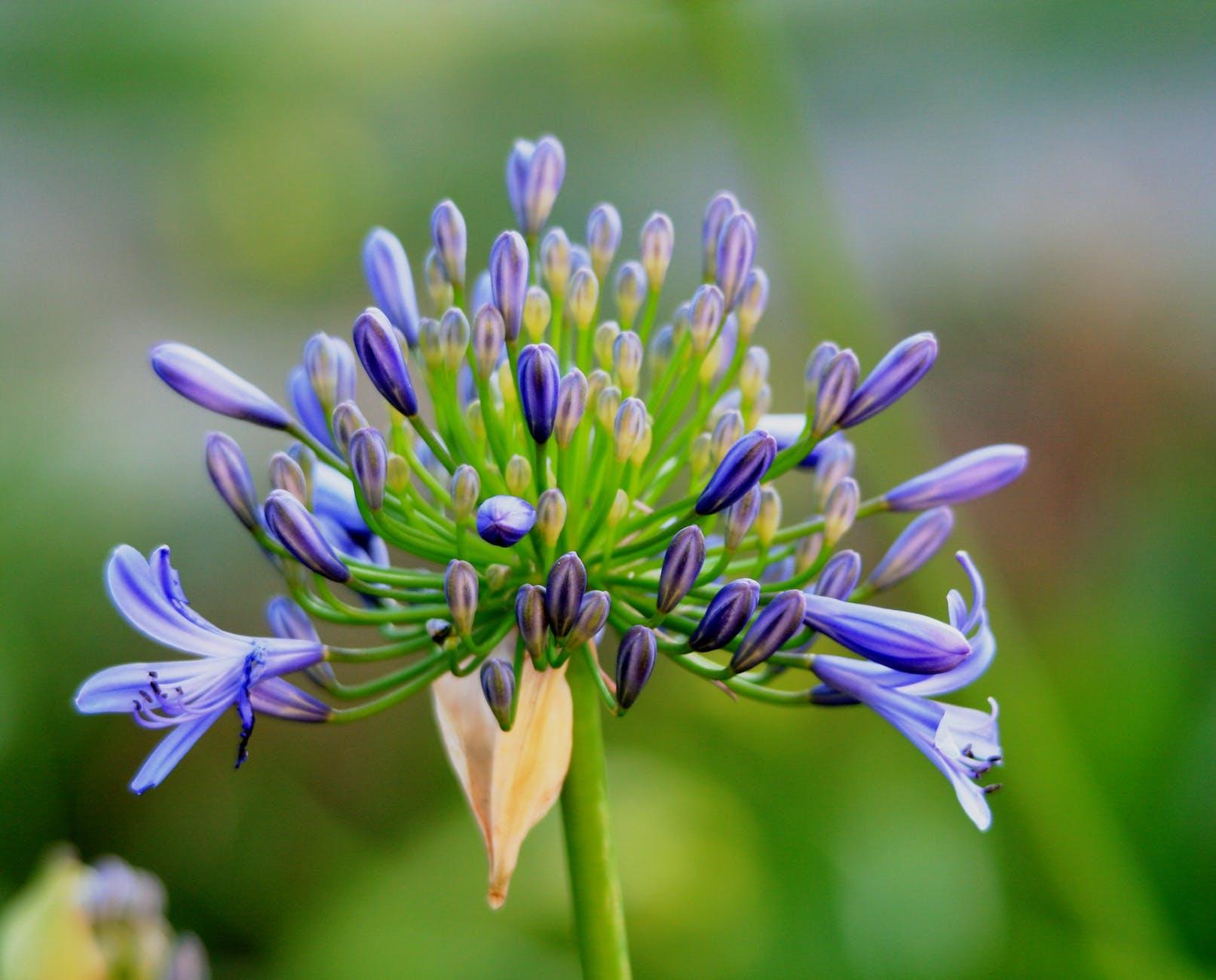 agapanthus-flower-florets-buds-62292.jpeg