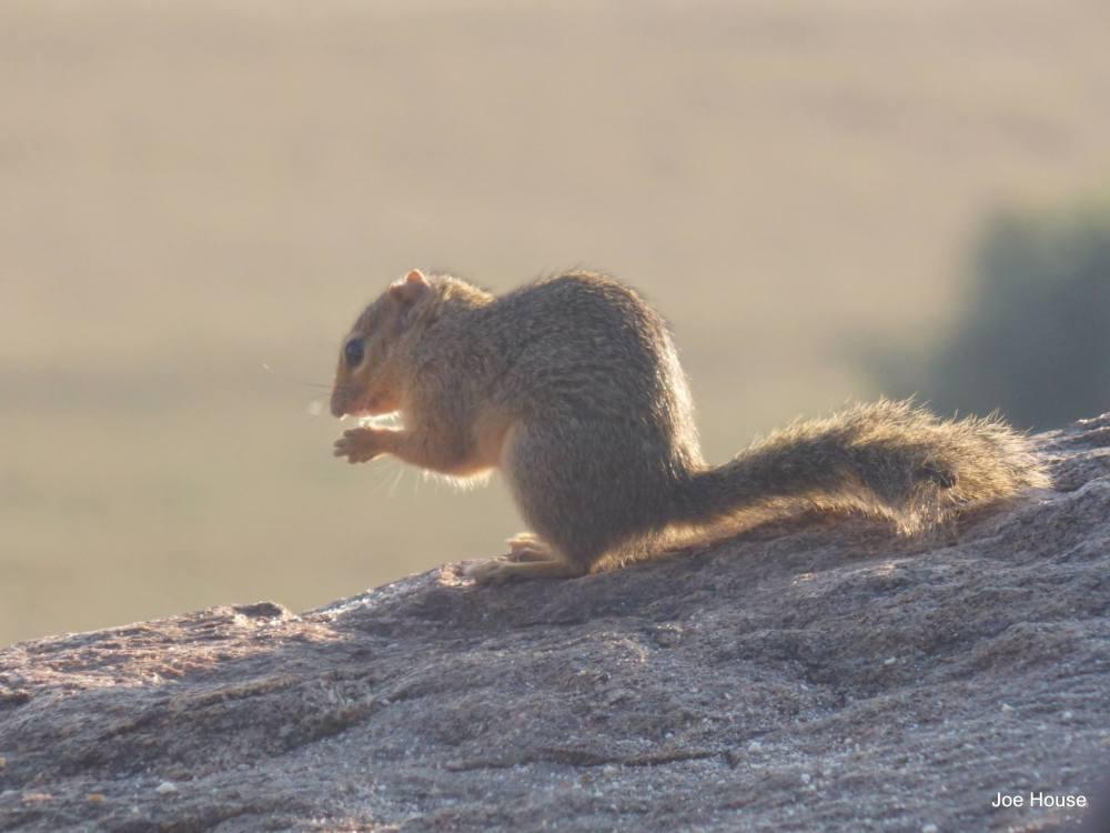 Tsavo squirrel 1
