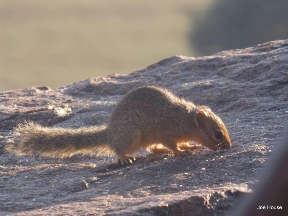 Tsavo squirrel 2